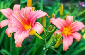 Blüten der Taglilie