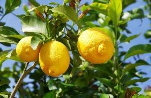 Zitronenbaum Schildläuse Spinnmilben