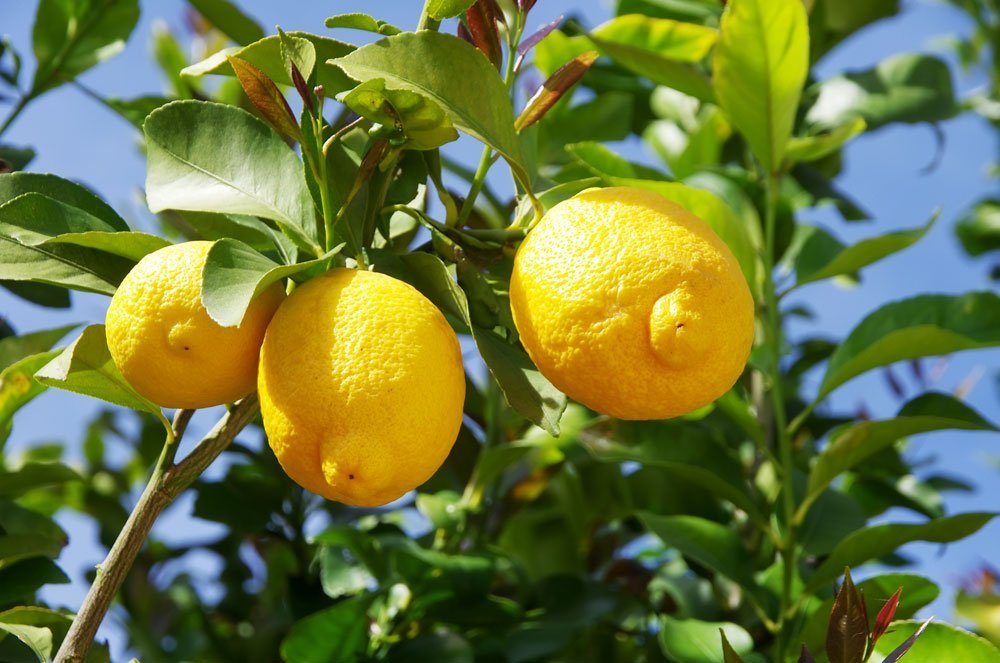 Dünger Für Zitronenbaum : zitronenbaum sch dlinge wie sie schildl use und ~ Watch28wear.com Haus und Dekorationen