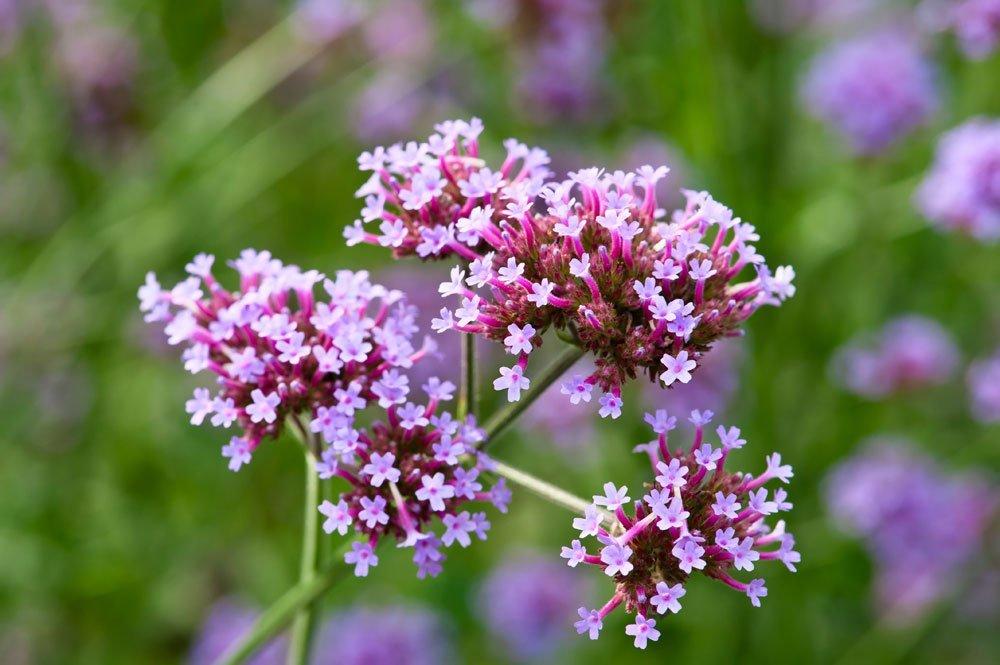 Blüten des Argentinischen Eisenkrautes