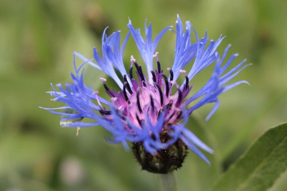 Blüte der Berg Flockenblume