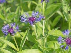 Berg-Flockenblume - pflanzen, pflegen und vermehren
