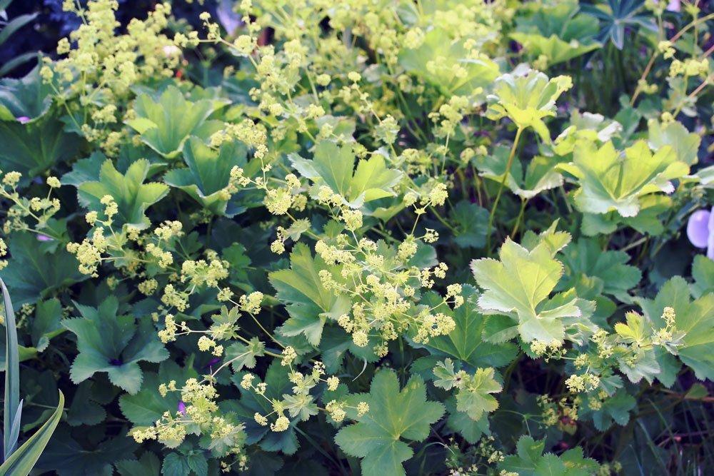 Großblättiger Frauenmantel Blüten