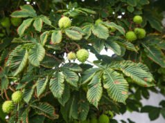 Kastanienbaum: Krankheiten und Schädlinge erkennen und bekämpfen