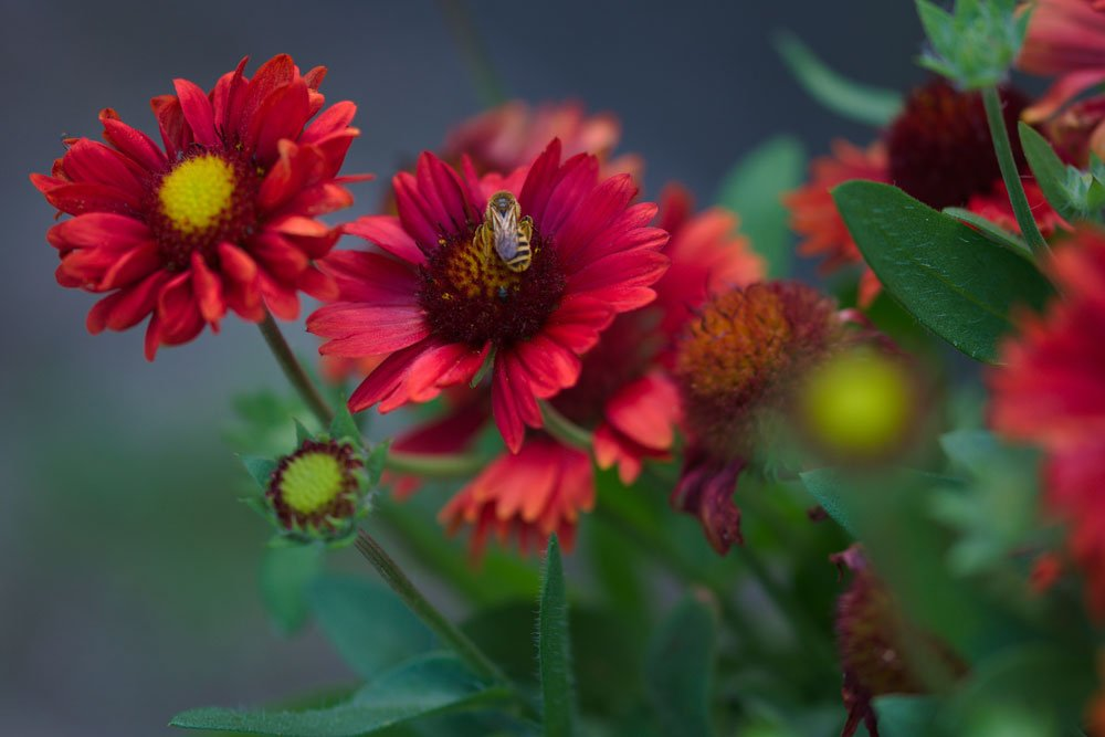 Kokardenblume Burgunder