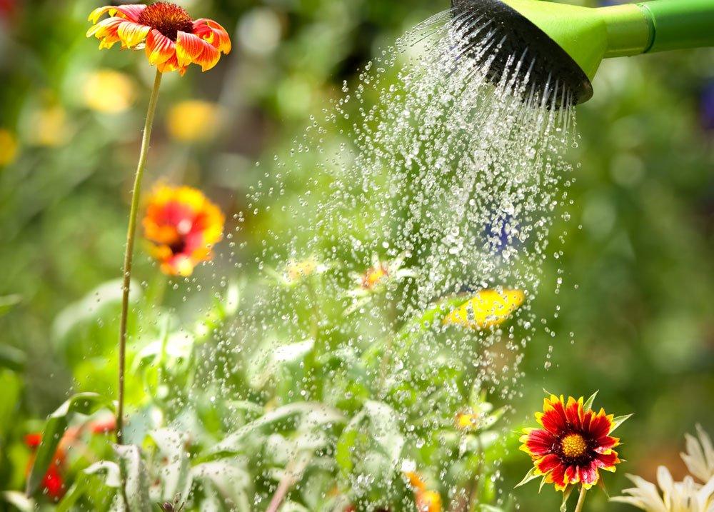 Kokardenblume gießen