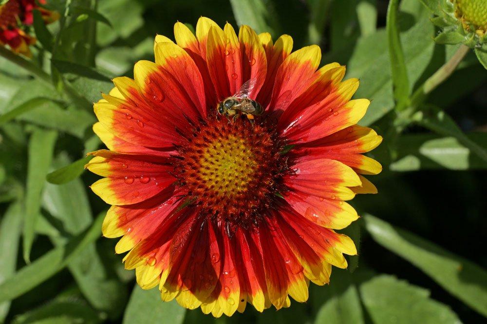 Kokardenblume Kobold