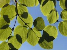 Kuchenbaum im Kübel halten - Hinweise zum pflanzen, düngen und überwintern