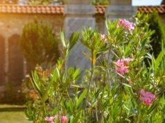 Oleander schneiden - Tipps und Anleitung