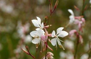 Prachtkerze: Pflanzen, pflegen und vermehren