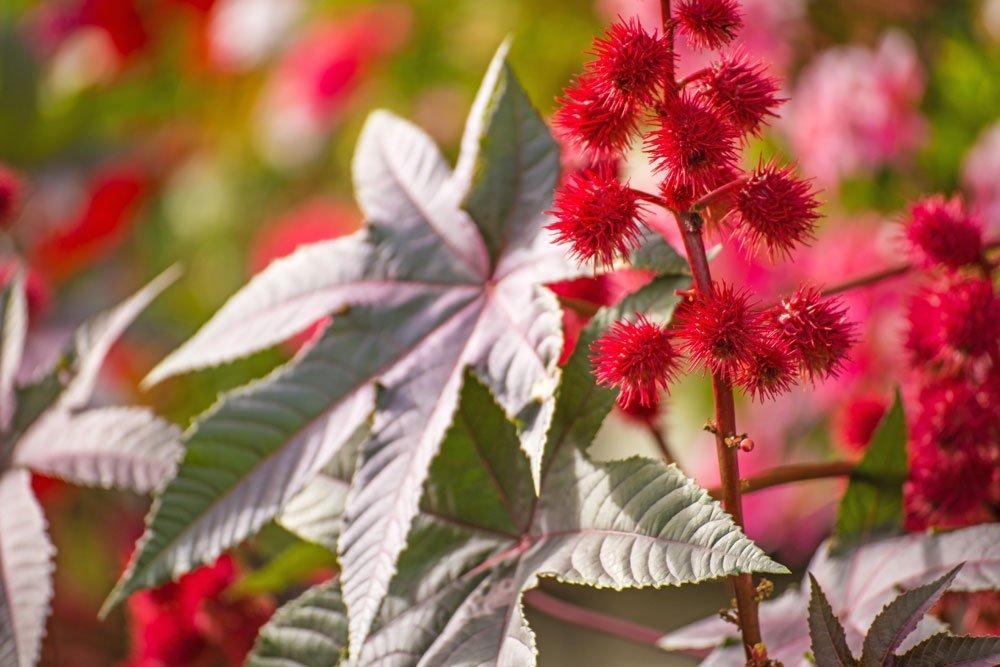 Rizinus pflanzen so gelingt der anbau des wunderbaums for Onlineshop pflanzen