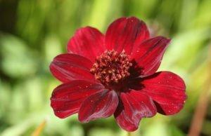 Blüte der Schokoladen-Kosmee.