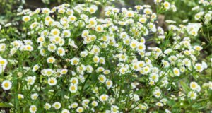Teppich-Aster Snowflurry Blüten