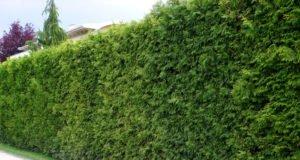 Thuja-Hecke pflanzen