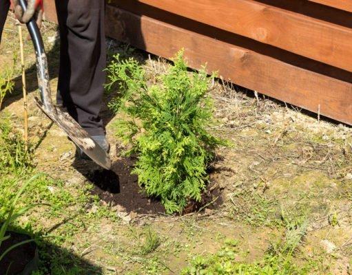 Thuja umpflanzen