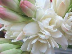 Blüten der Tuberose