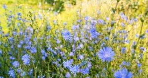 Wegwarte - Pflanzen, pflegen und vermehren