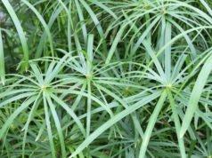 Zyperngras pflanzen