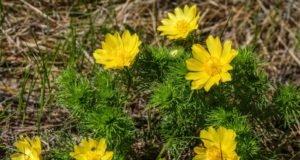 Adonisröschen pflanzen