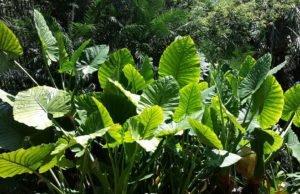 Alokasie pflanzen