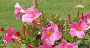 Dipladenia pflanzen - Anleitung und Tipps