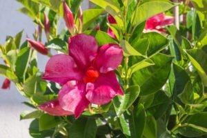 Dipladenia überwintern - So übersteht die Mandevilla die kalte Jahreszeit