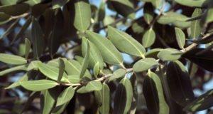 Eisenbaum - Pflanzen, Pflege & Rückschnitt