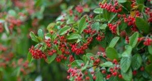 Fruchtmispel - Pflanzen, pflegen und schneiden