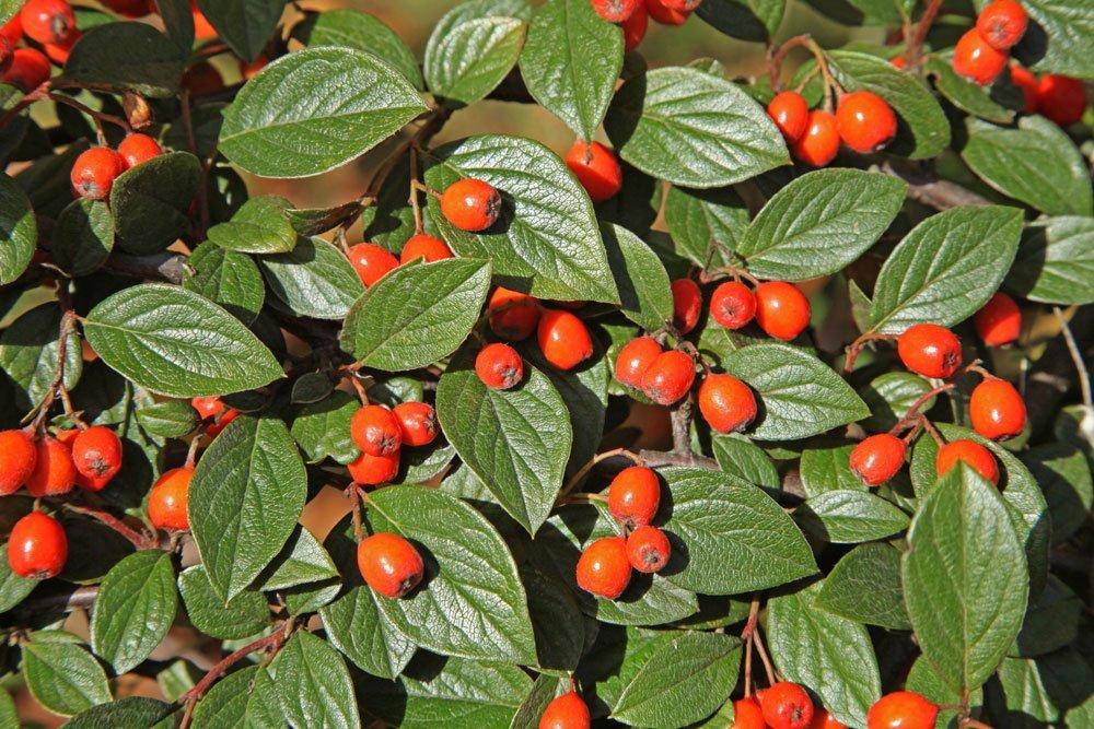 Fruchtmispel Beeren