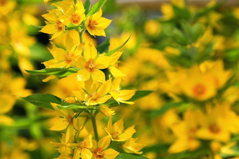 Goldfelberich pflanzen - Anleitung und Tipps zu Standort und Boden