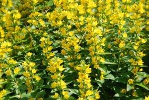 Goldfelberich vermehren  - So einfach gewinnen Sie neue Pflanzen