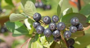 Kahle Apfelbeere - Aronia - Beeren