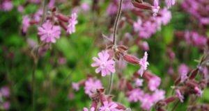 Lichtnelke pflanzen - Anleitung & Tipps
