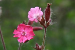 Lichtnelke: Die 10 schönsten Sorten vorgestellt