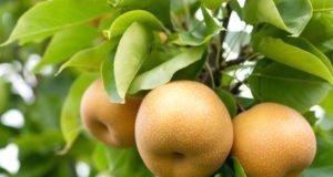 Nashi Birne pflanzen - Tipps zu Standort und Pflege