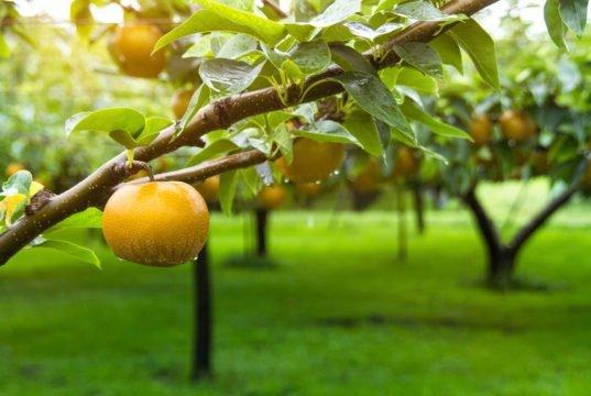 Nashi-Birnen pflegen - Hinweise zum Gießen, Düngen, Schneiden und Überwintern