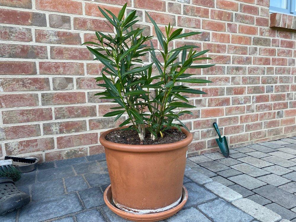 Oleander nach Rückschnitt