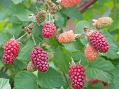 Taybeeren pflanzen - Anleitung und wichtige Tipps für eine reiche Ernte