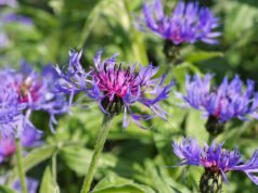 Berg-Flockenblume-pflanzen