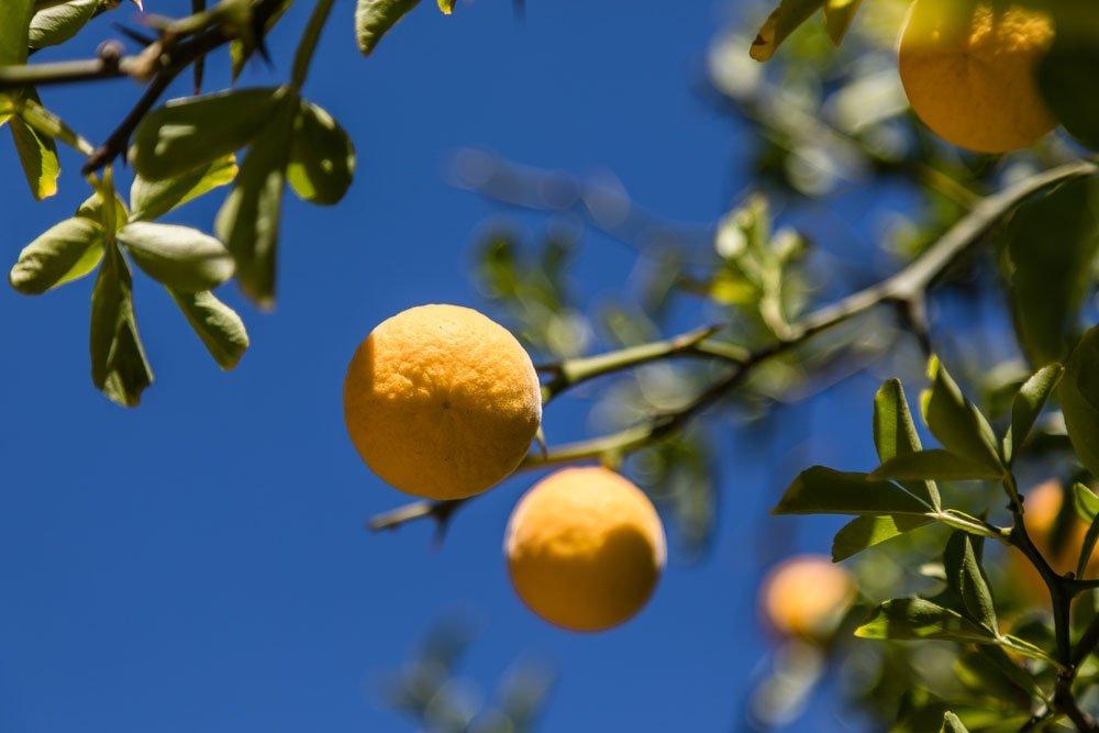Bitterorange Frucht