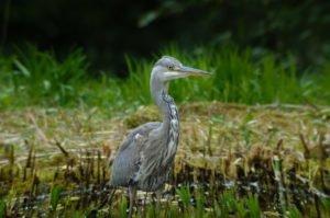 Gartenteich vor fischreihern sch tzen 8 effektive tipps for Einheimische fische gartenteich