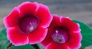 Gloxinie pflanzen