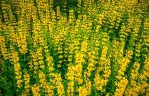 Goldfelberich eingrenzen - So weisen Sie die Pflanze in ihre Schranken