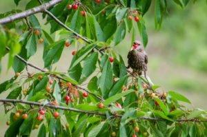 Kirschbaum vor Staren schützen
