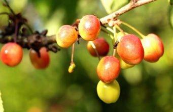 Kirschfruchtfliege bekämpfen - So werden Sie Maden in Kirchen wieder los
