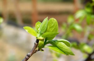 Kuchenbaum vermehren Samen