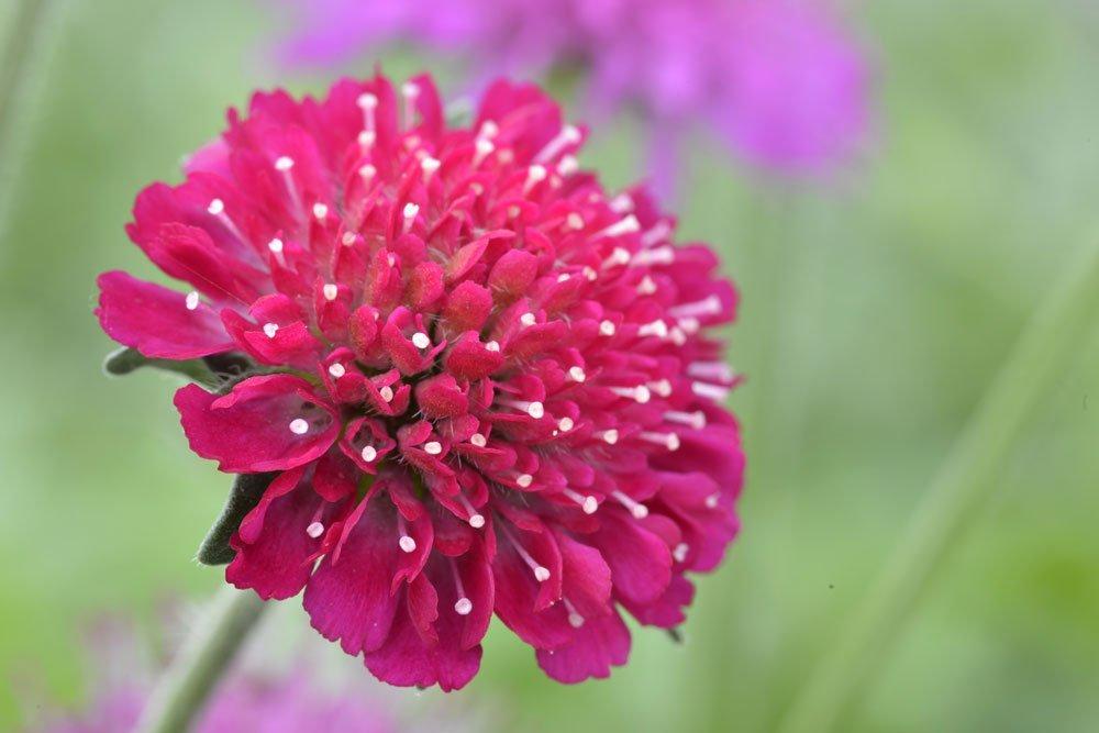 mazedonische witwenblume pflanzen pflege und vermehrung. Black Bedroom Furniture Sets. Home Design Ideas