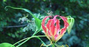 Ruhmeskrone vermehren - So klappt's per Nebenknollen und Samen