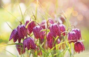 Schachbrettblume pflanzen