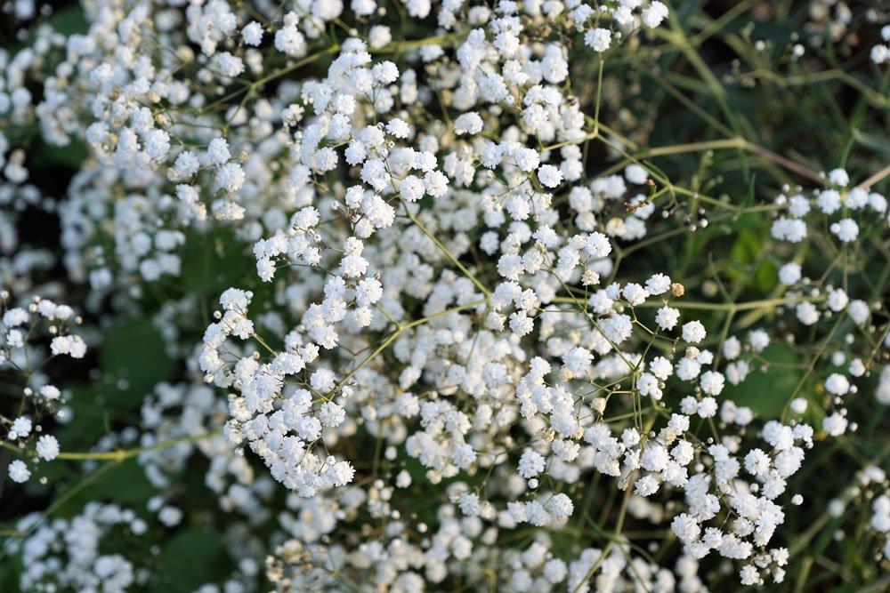 70 Samen filigrane Blüten mehrjährig Schleierkraut hoch weiß